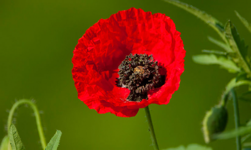 Photo coquelicot.png